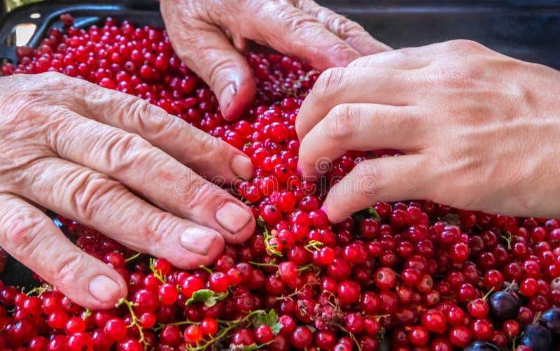 Arbeiders, landbouwershanden en rode aalbessen na oogst stock afbeeldingen