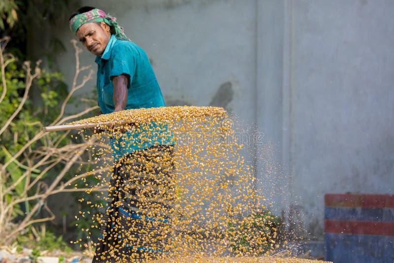 Arbeiders uitgespreid maïsgewas voor het drogen bij een in het groot korrelmarkt royalty-vrije stock fotografie