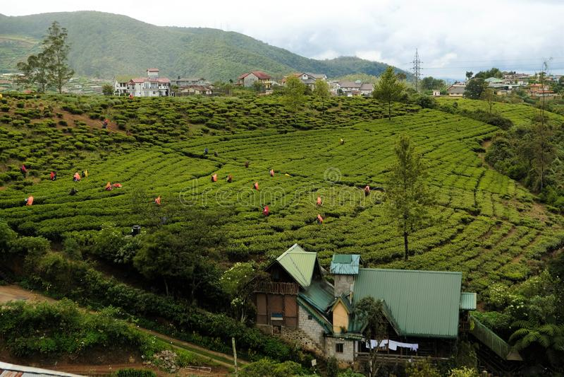 Arbeiders van de theeaanplantingen van Sri Lanka de beroemde blauwe royalty-vrije stock foto