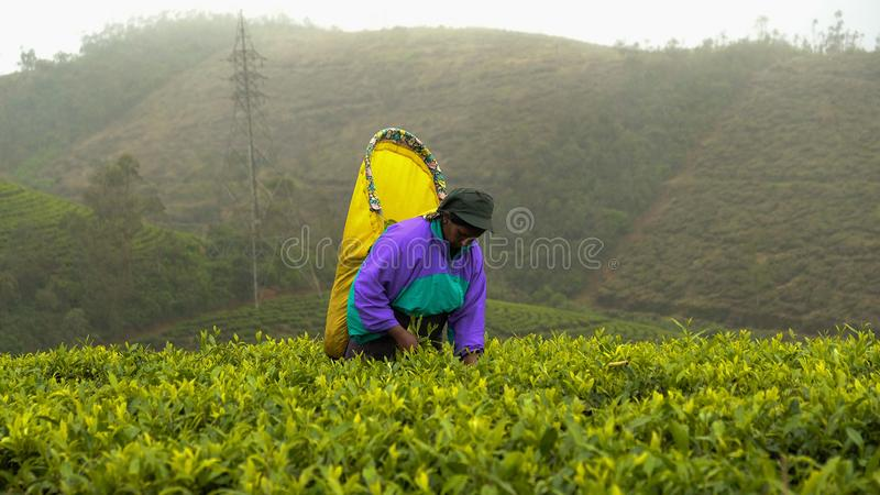 Arbeiders van de theeaanplantingen van Sri Lanka de beroemde blauwe stock foto