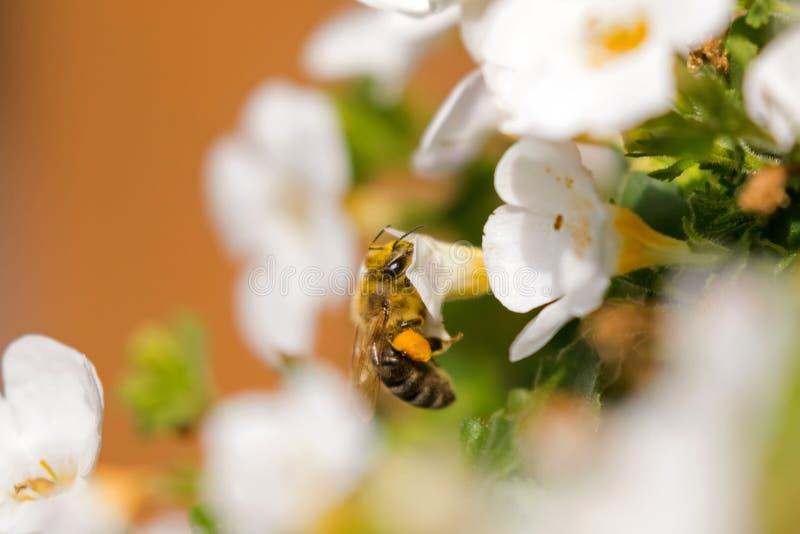 Arbeidershoningbij met bijenstuifmeel het voeden op Bacopa-bloem, Groot y stock fotografie