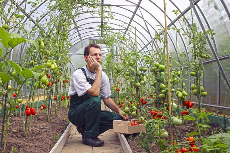 Download Arbeiderszitting Die Over De Oogst Van Tomat Denken Stock Afbeelding - Afbeelding bestaande uit landbouwer, serre: 39104453