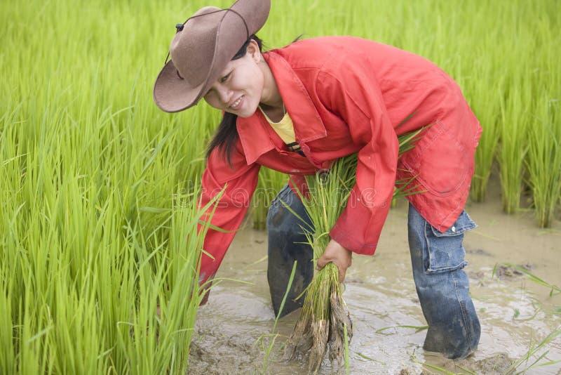 Arbeit über das Reisfeld, Laos stockbilder
