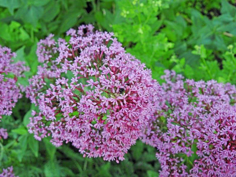 Arbeiten malvenfarbene purpurrote malvenfarbene rosa Blumenanlagen der Kegelblumen im Garten lizenzfreie stockfotos