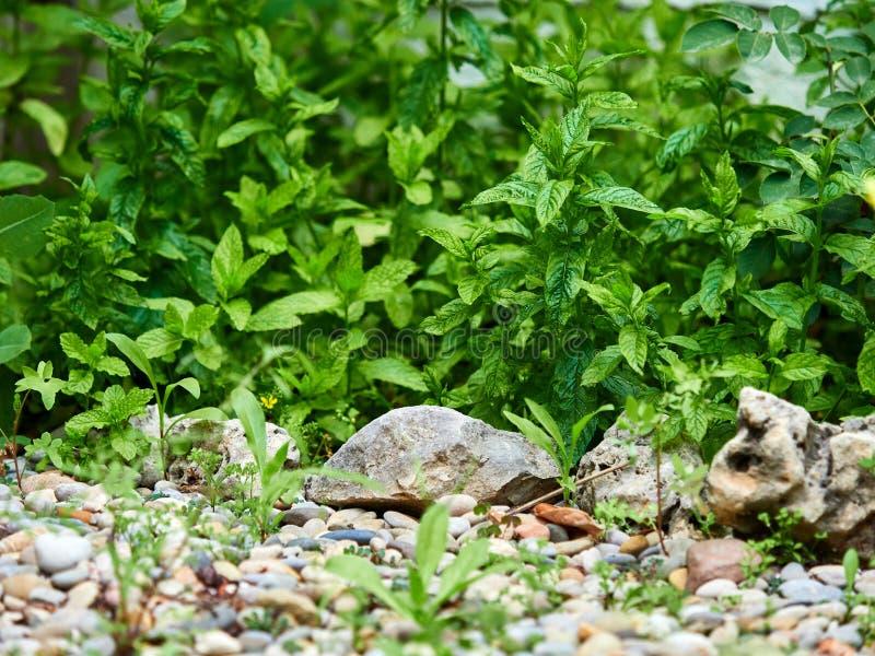 Arbeiten Sie mit einer starken Gruppe Pfefferminzanlagen im Garten lizenzfreies stockfoto
