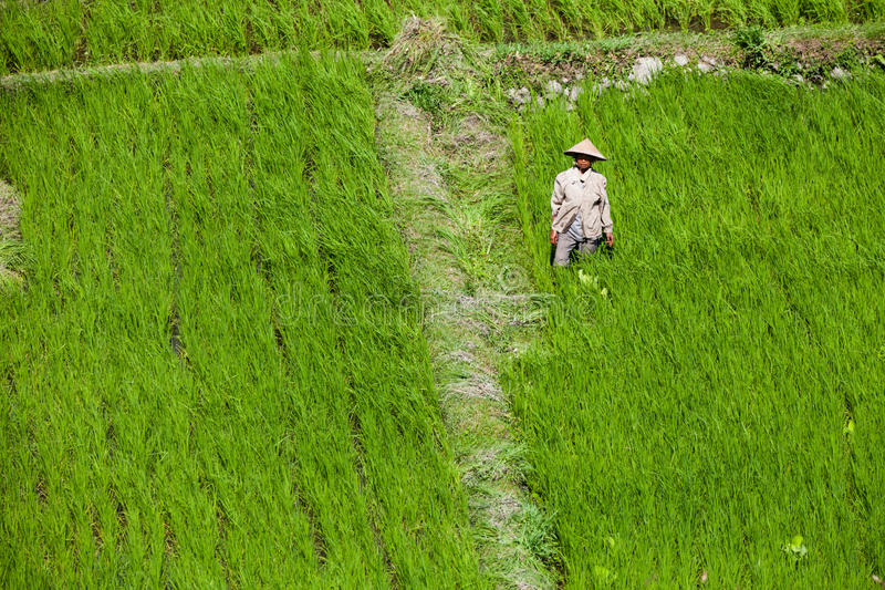 Arbeitskräfte auf dem grünen Reisgebiet lizenzfreie stockbilder