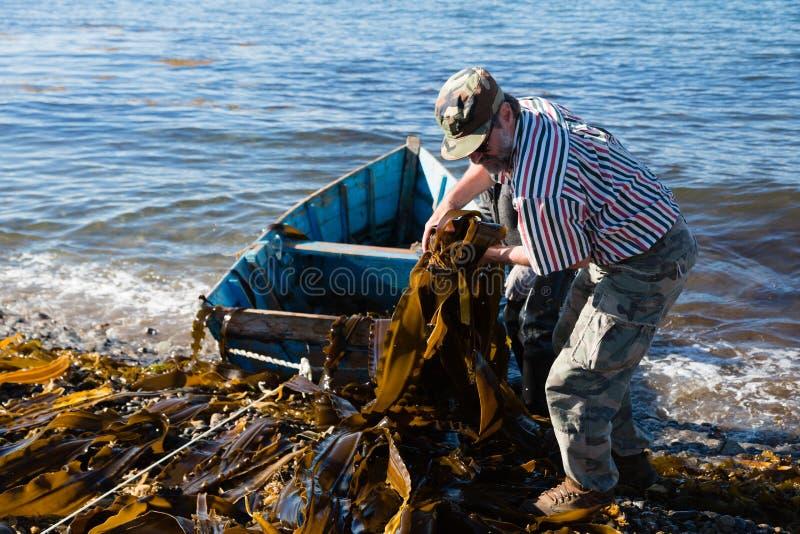 Arbeitskräfte entladen Meerespflanzenkelp vom Boot zum Ufer. stockfotos