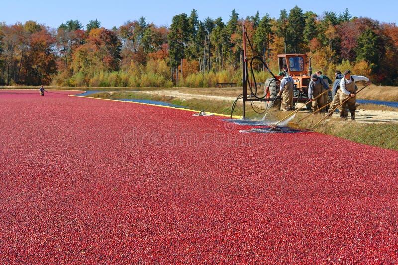 Arbeitskräfte im Sumpf für Moosbeere-Ernte in New-Jersey stockbild
