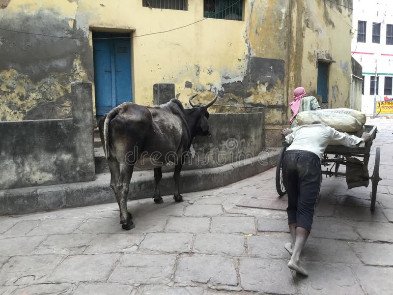 Arbeitskräfte und eine Kuh in Indien stockfoto