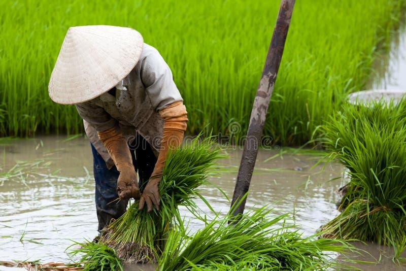 Arbeitskraft auf dem Reis-Gebiet lizenzfreie stockfotografie
