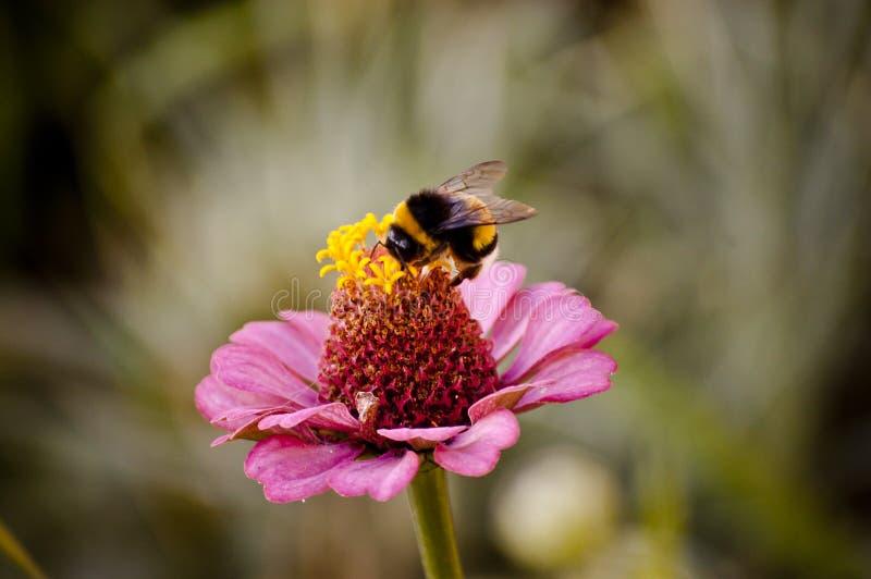 Arbeitskraft-Biene stockfotografie