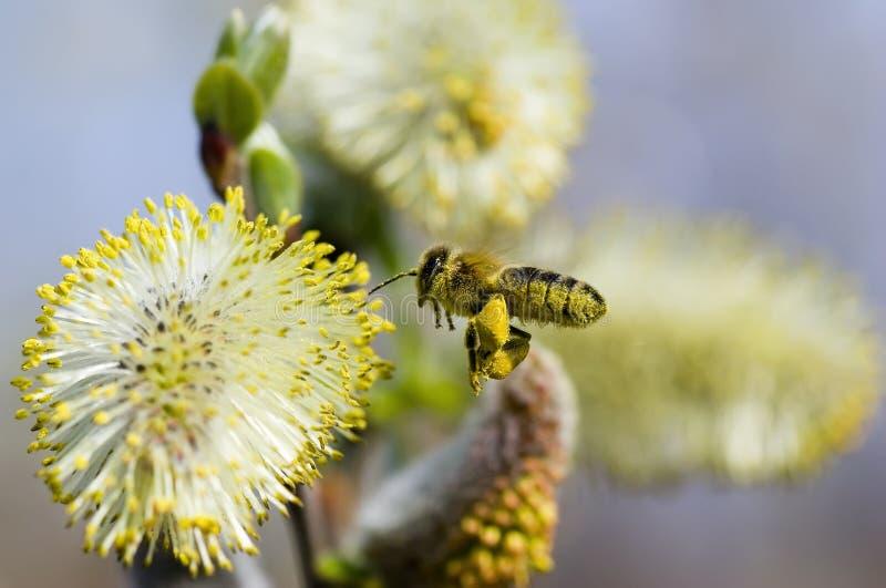 Arbeitskraft-Biene, die Blütenstaub montiert stockbild