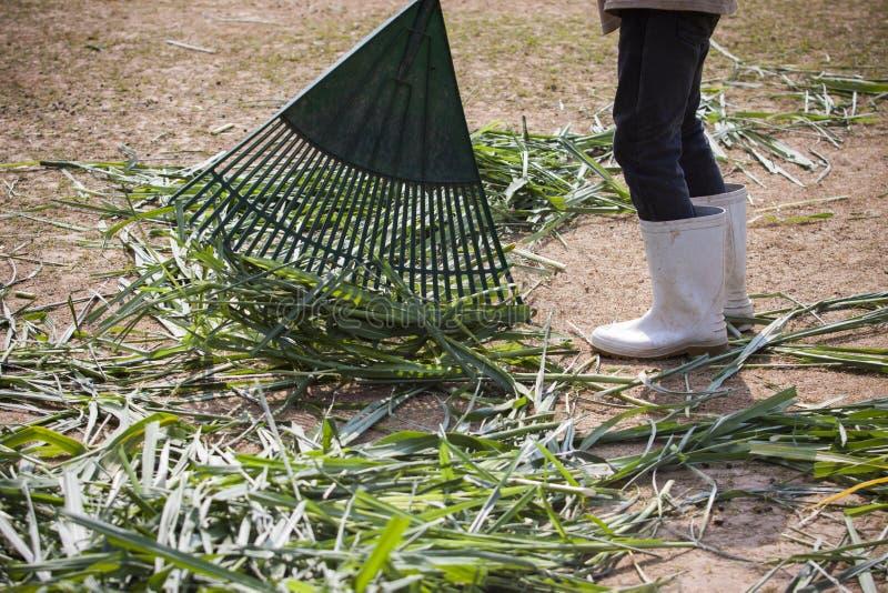 Arbeitskraft, die grünes Gras im Ranchbauernhof säubert stockbilder