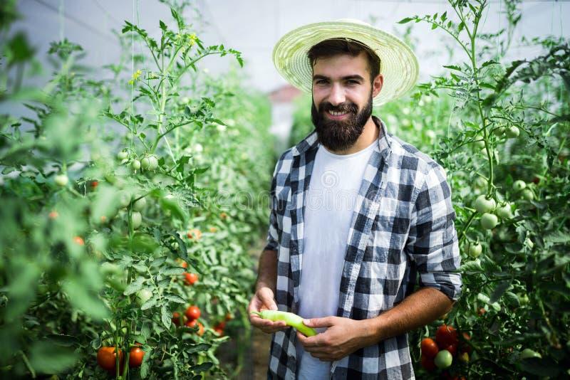 Arbeitskraft erntet Tomaten im Gewächshaus stockfotos
