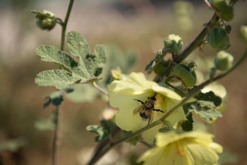 Arbeitskraftbiene hängt an einer Blume, die versucht, sie zu bestäuben lizenzfreies stockbild