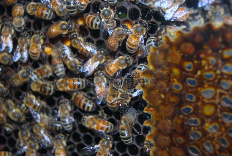Arbeitskraftbienen im Bienenstock lizenzfreie stockbilder