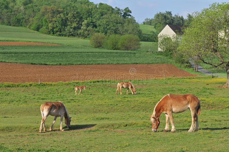 Arbeitspferde, die auf einen amischen Bauernhof einziehen stockfoto
