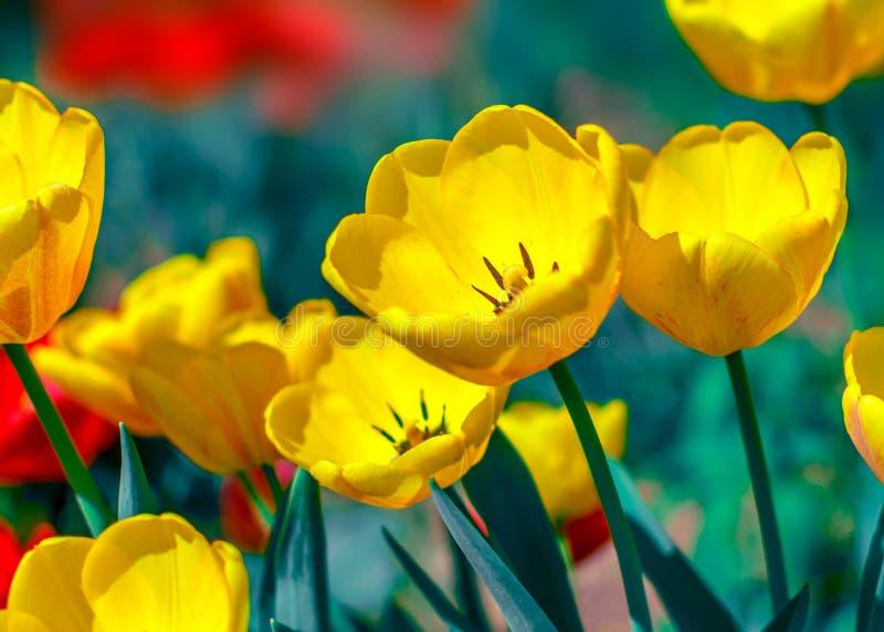Arbeta i trädgården färgrik ljus blomningguling för närbilden och röda blommatulpan i vår Blomsterrabatt i solig dag Härlig blom- royaltyfri foto