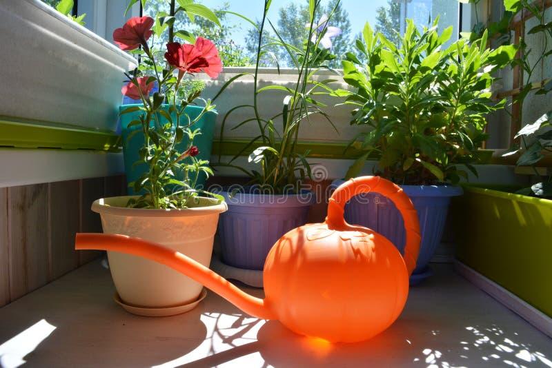 Arbeta i trädgården för balkong Petunian, osteospermumen och andra växter i blomkrukor och apelsin som bevattnar kan i förgrund royaltyfri fotografi