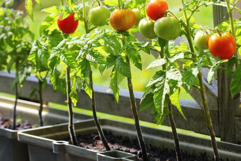 Arbeta i trädgården för behållaregrönsaker Grönsakträdgård på en terrass Örter tomater som växer i behållare royaltyfria foton