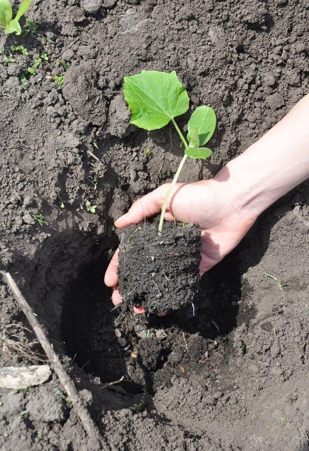 Arbeta i trädgården för mat: Trädgårdsmästare som planterar gurkor i en trädgård arkivfoto