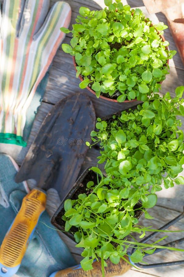 Arbeta i trädgården hjälpmedel och plantan på den trädgårds- tabellen arkivbilder