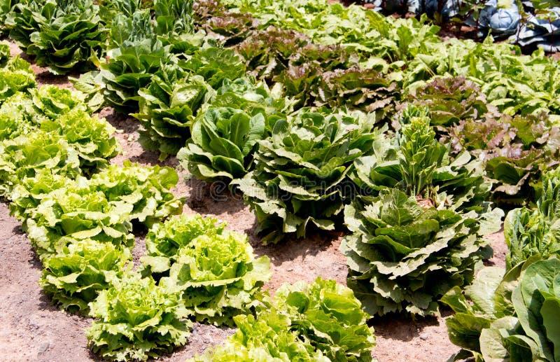 arbeta i trädgården home Växande organisk grönsallat och kål arkivbilder