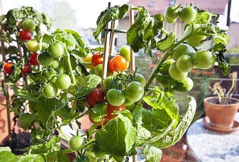 Arbeta i trädgården körsbärsröda tomater på växten som är klar att skörda royaltyfria bilder