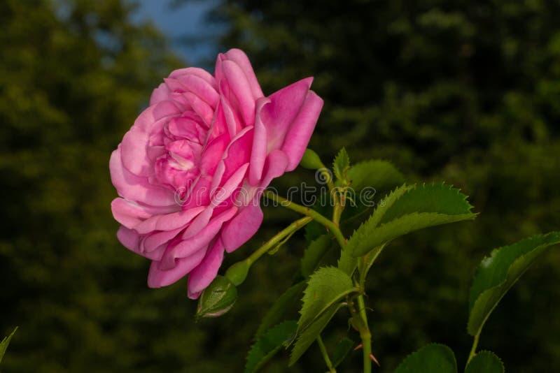 Arbeta i trädgården rosa arkivfoto