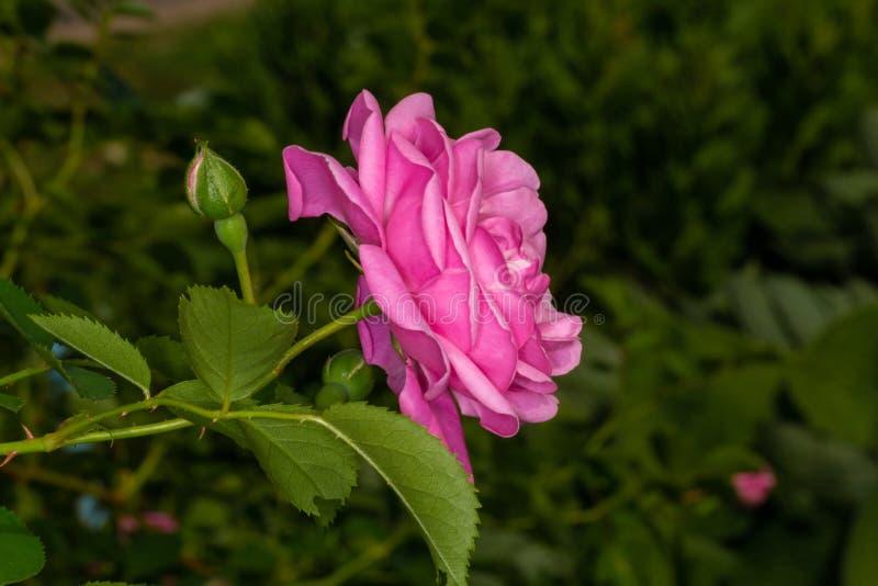 Arbeta i trädgården rosa royaltyfria bilder