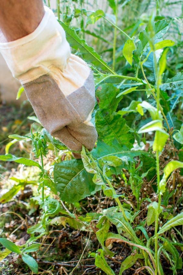 Arbeta i trädgården som väljer ogräset arkivbilder