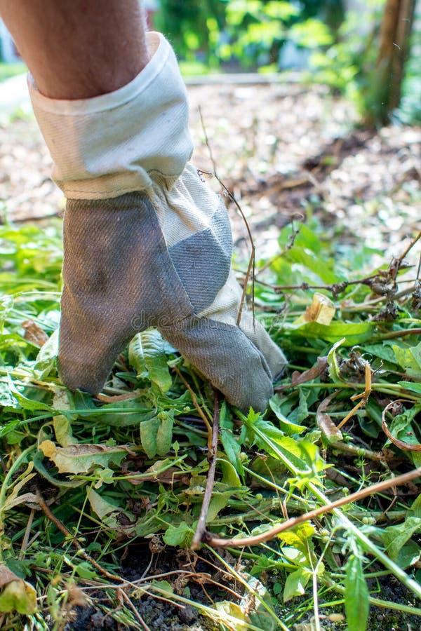 Arbeta i trädgården som väljer ogräset royaltyfria bilder