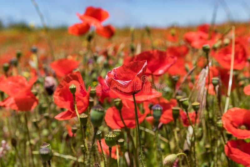 Arbeta i trädgården täppan som täckas, genom att blomma röda vallmo på bakgrund av blå himmel med vita fluffiga moln Ljus varm so royaltyfria foton