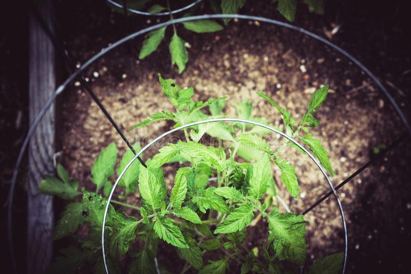 Arbeta i trädgården upp och plantera tomatcloise arkivfoto