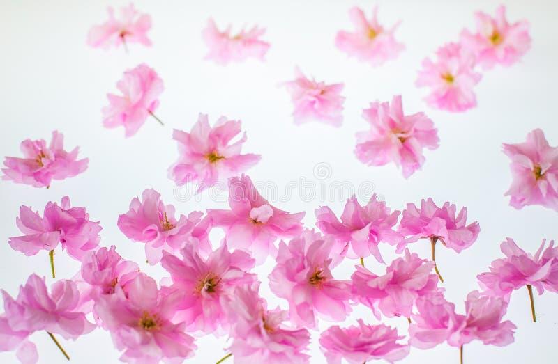 Arbeta i trädgården vårbakgrund: livlig rosa äppleblomning royaltyfri bild