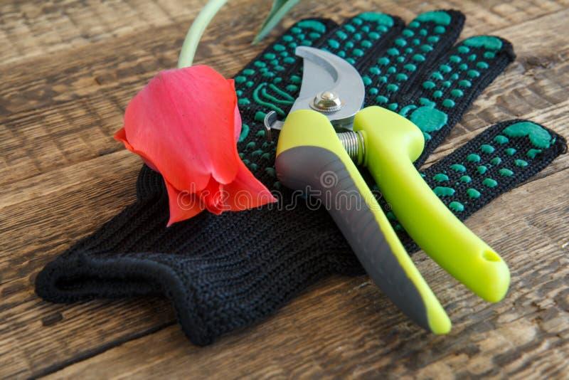 Arbeta i tr?dg?rden den handske-, pruner- och snitttulpan p? tr?br?den royaltyfri fotografi