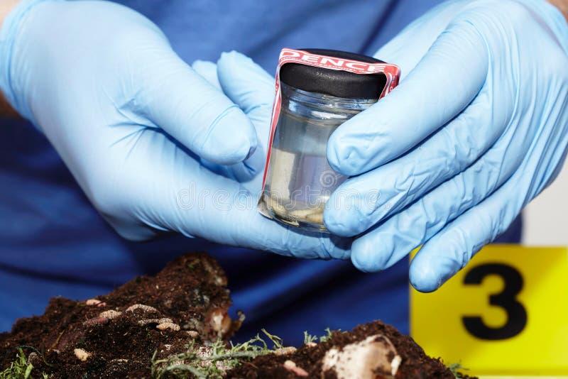Arbeta på att samla av den klipska larven på brottsplats av kriminologen arkivbilder