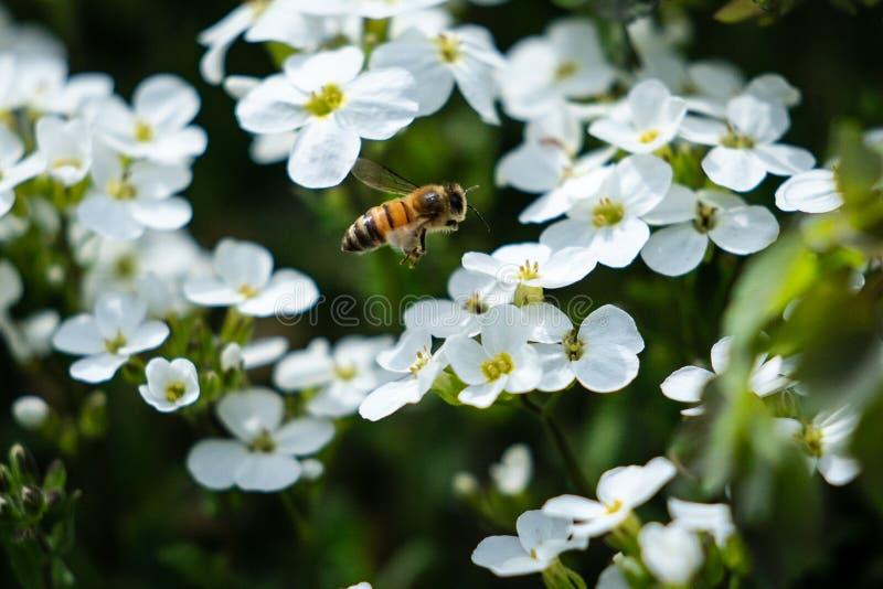 Arbetande bi på den Alaska botaniska trädgården arkivfoto
