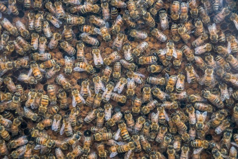 Arbetande bin på honungceller, closeup av bin på honungskakabakgrund arkivbild