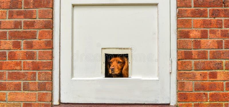Arbetande spaniel som ser till och med 'hålet för en kattklaff 'i dörr royaltyfri bild