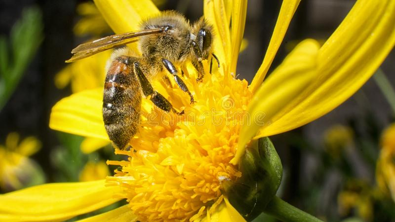 Arbetarbi som arbetar på pollination royaltyfria bilder