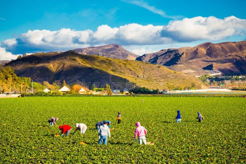 Arbetare för jordgubbefältjordbruk royaltyfri foto