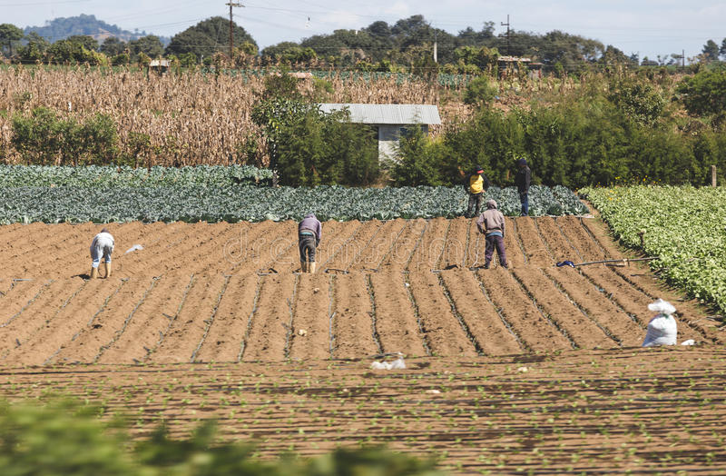 Arbetare i ett fält i Guatemala royaltyfri bild