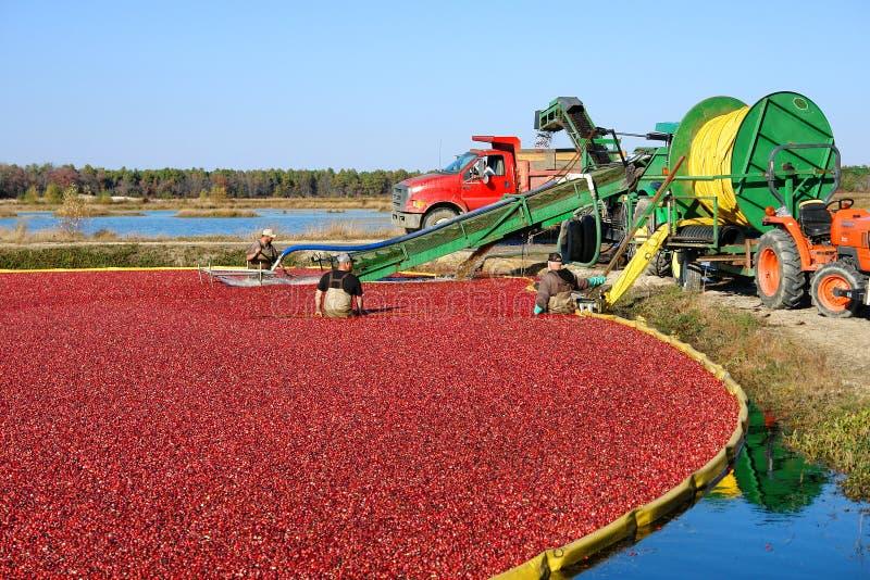 Arbetare i myren för Cranberryskörd i New Jersey royaltyfria bilder