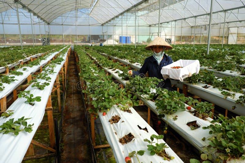 Arbetare jordgubbeträdgård, Dalat, Da-Lat royaltyfri fotografi
