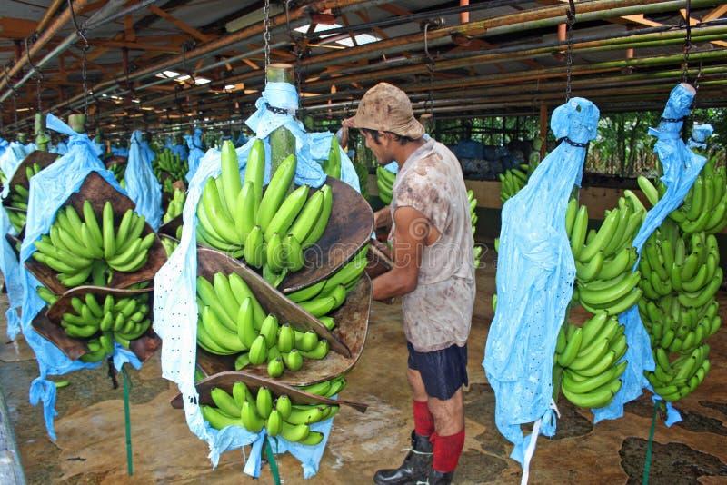 Arbetare på bananfabriken i Costa Rica som är karibisk royaltyfria foton