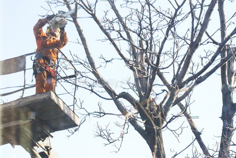 Arbetare som använder en chainsaw i trädgårds- klippa av filialträdvåren med från den högstämda plattformen royaltyfri bild