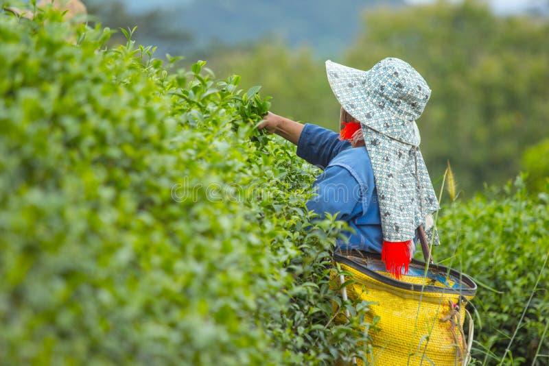 Arbetare som skördar grönt te arkivfoton