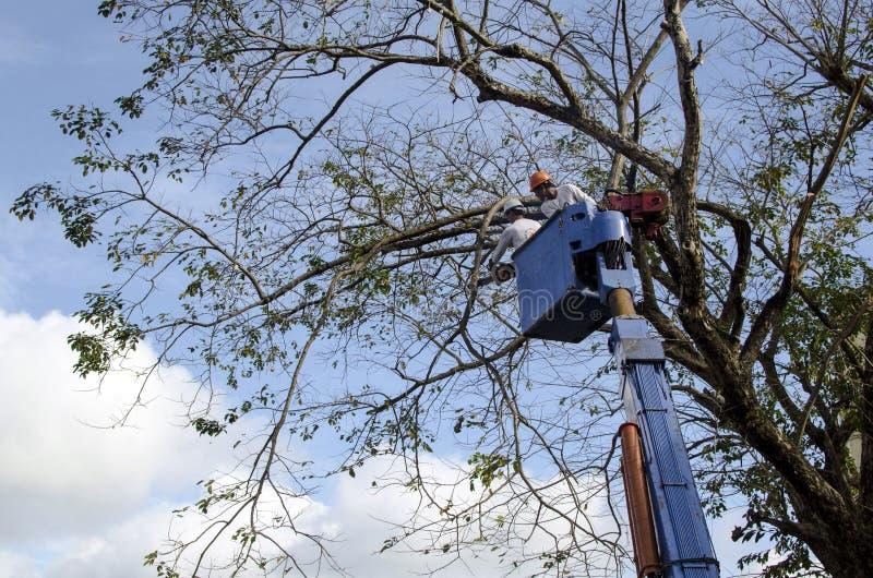 Arbetarsnitt, katrinplommon och filialer för klippningnarraträd med chainsawen genom att använda telehandler med den främsta domk royaltyfria foton