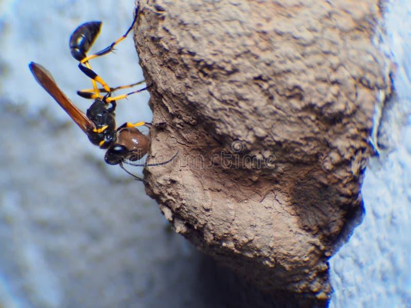 Arbete eller Wasp-imitatör Hoverfly för Ceriana getinghus på vit bakgrund royaltyfri bild